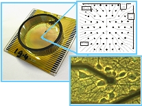 Figure 2. Standard microelectrode array showing (upper photograph) 62 electrodes and (lower photograph) one electrode covered with neurons. The planned device will contain a network of culture chambers and microfluidic channels.