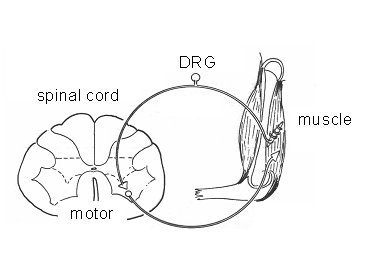 Figure 1 Schematics of the spinal reflex circuit, one of the processes to be mimicked. The system is composed by muscle spindles, dorsal root ganglion (DRG) cells, motor neurons in the ventral horn of the spinal cord and the effector muscle.